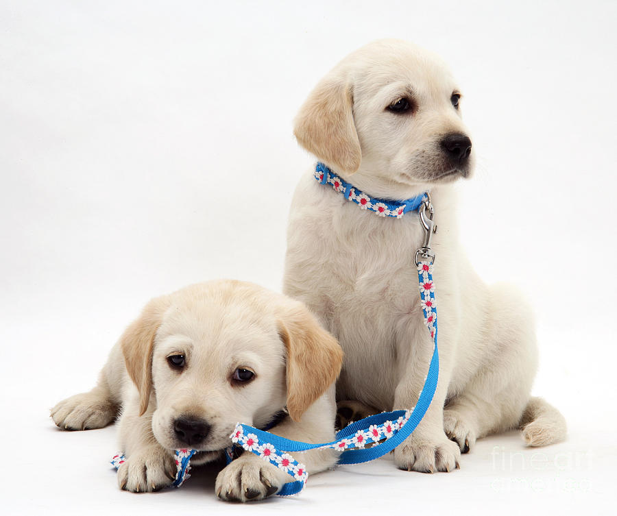 Goldidor Retriever Puppies Photograph