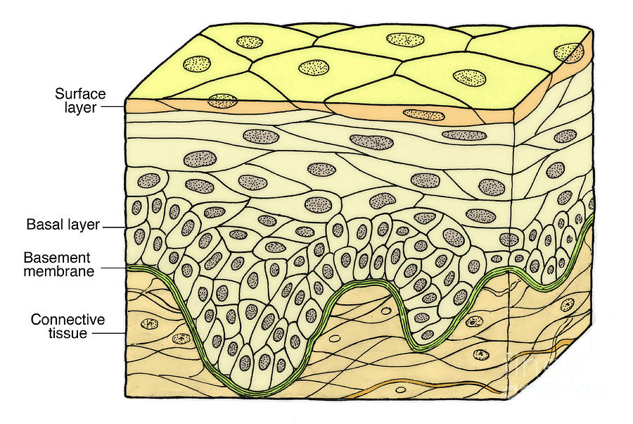 Illustration Of Stratified Squamous Photograph