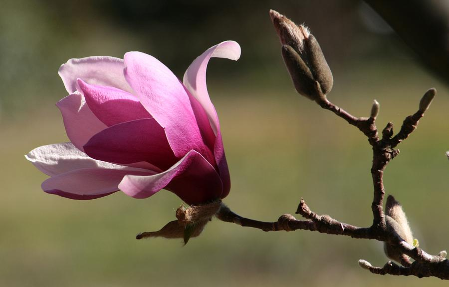 Magnolia World Of Beauty Photograph