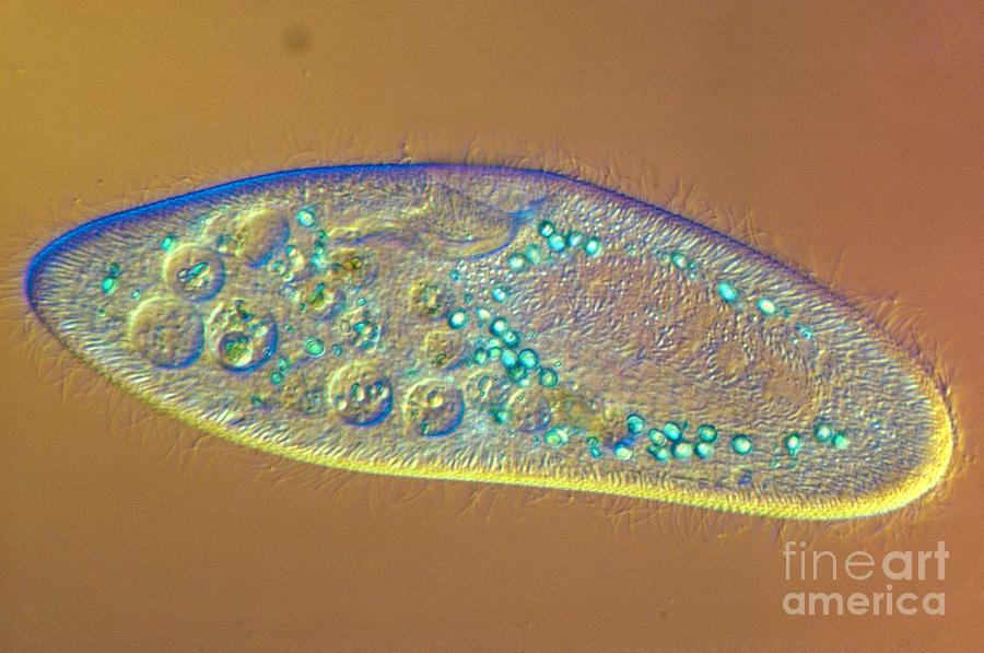 Paramecium Caudatum Photograph