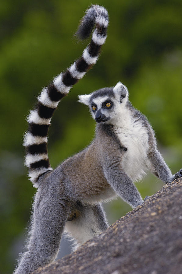Ring tailed lemur lemur catta portrait by pete oxford