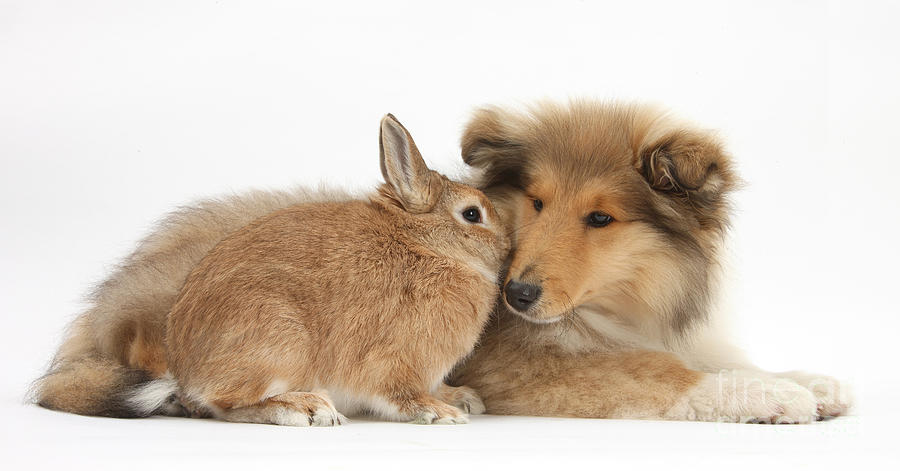 Rough Collie Pup With Rabbit Photograph  - Rough Collie Pup With Rabbit Fine Art Print