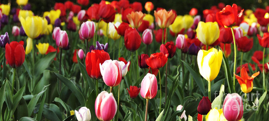 Tulip Garden University Of Pittsburgh Photograph