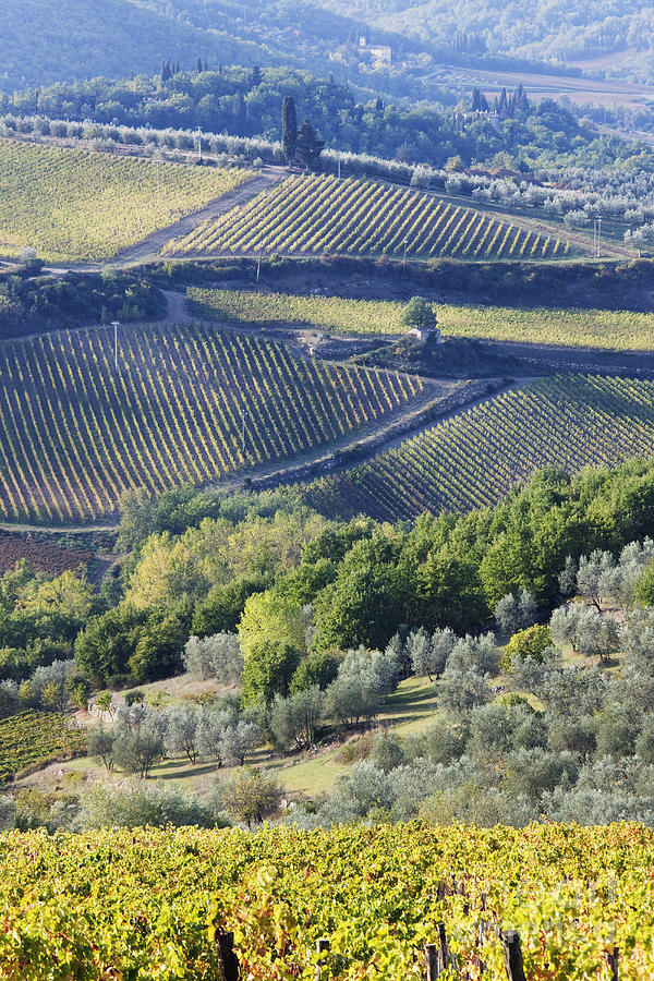 Vineyards And Olive Groves Photograph