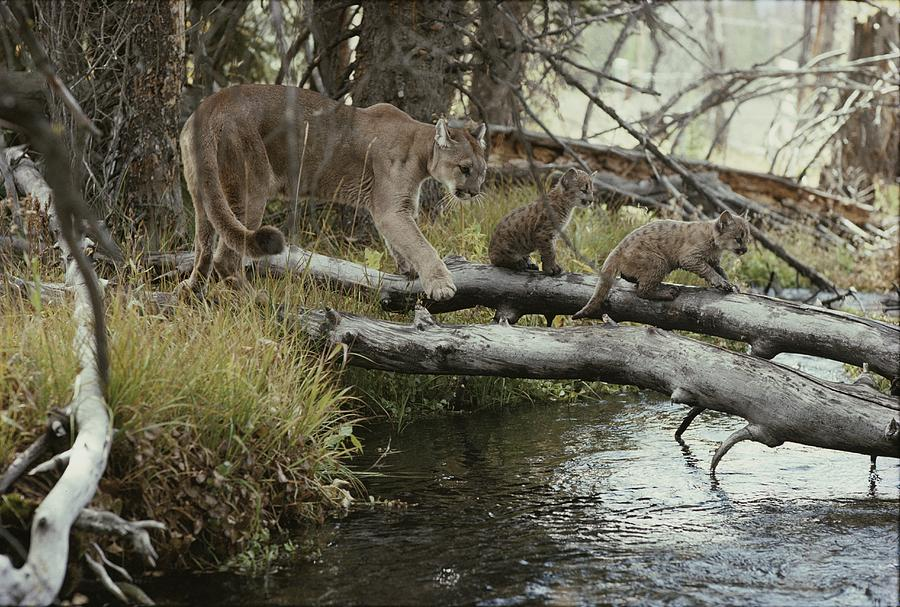 North America Photograph - A Mountain Lion, Felis Concolor by Jim And Jamie Dutcher