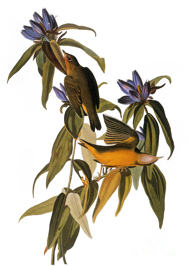 Audubon: Warbler, (1827-38) Photograph
