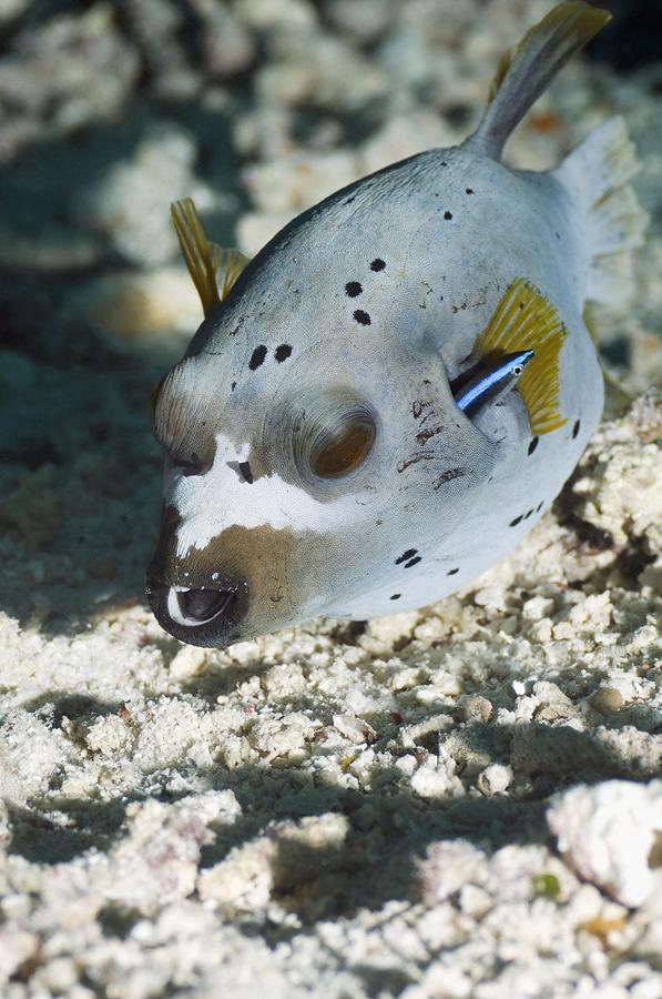Blackspotted Puffer Photograph - Blackspotted Puffer by Georgette Douwma