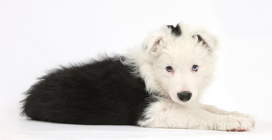 Border Collie Puppy Photograph