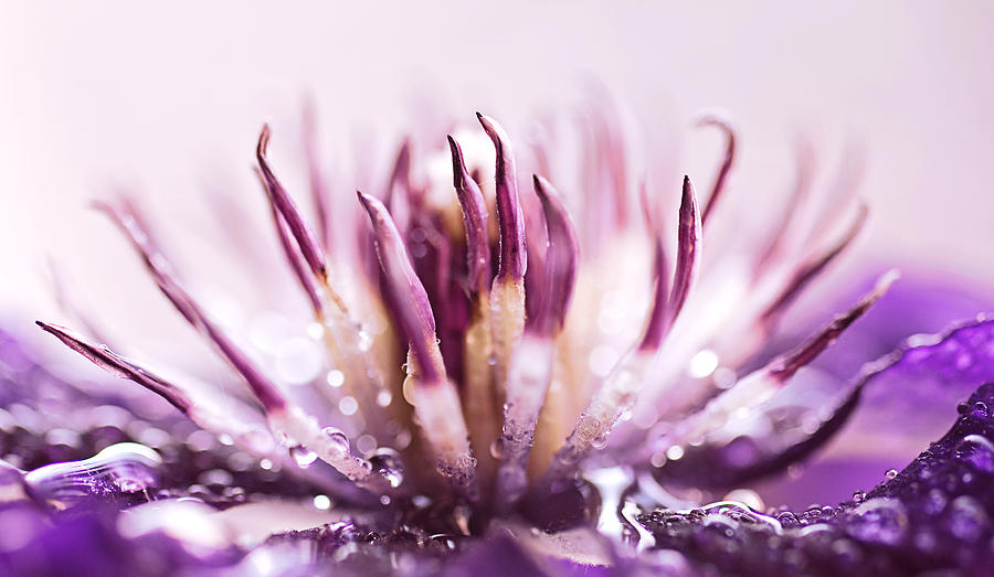 Clematis Photograph - Clematis by Debbie Dee