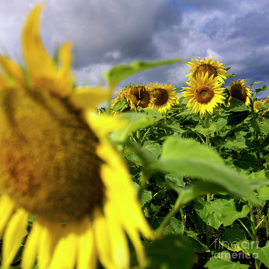 France Agricultural Agriculture Crop Cultivate Cultivation Rural Countryside Sunflower Field Plant Oil Yellow Flowers Close Up Summer Vertical Photograph - Field Of Sunflowers by Bernard Jaubert