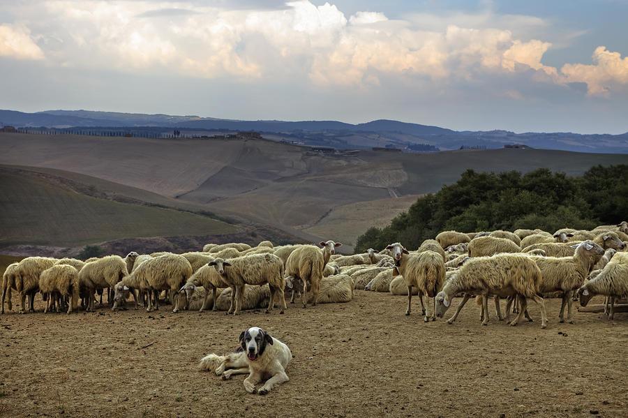 Flock Of Sheep Photograph