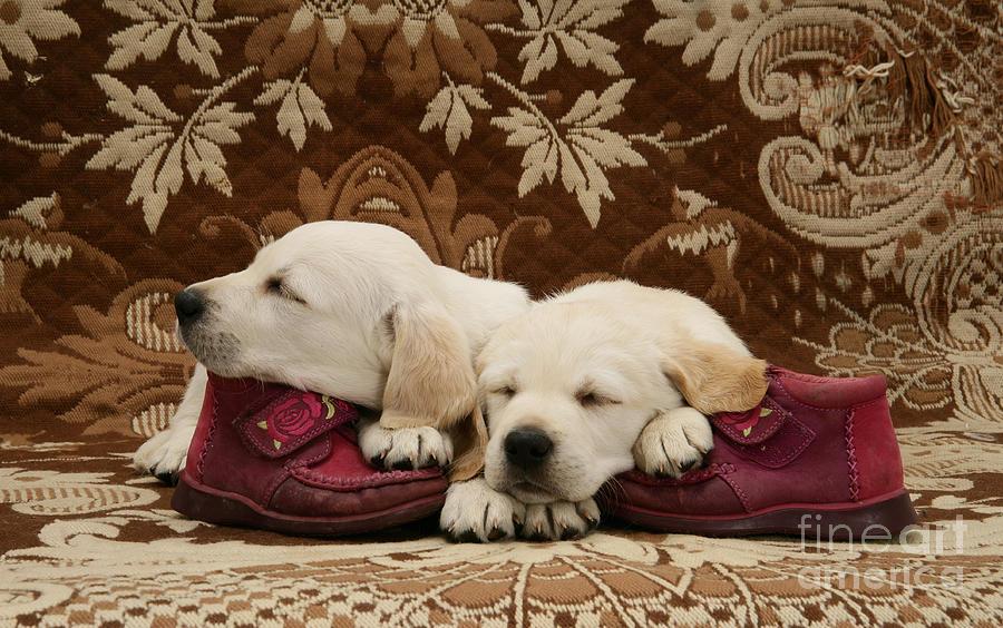 Goldidor Retriever Puppies Photograph