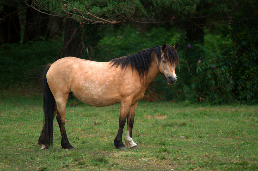 New Forest Pony is a photograph by Chris Day which was uploaded on ...