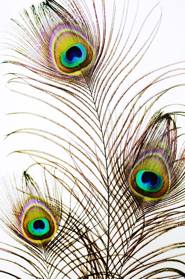 Peacock Feathers Photograph