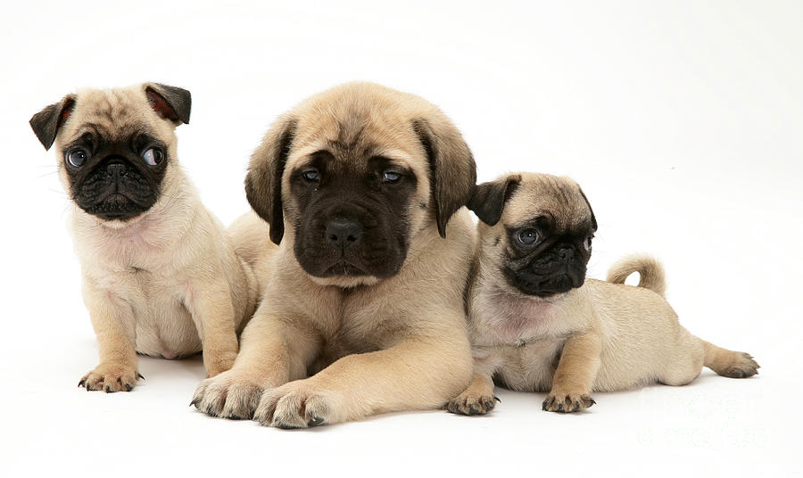 Pug And English Mastiff Puppies Photograph