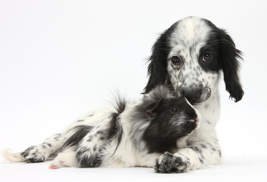 Puppy And Guinea Pig Photograph