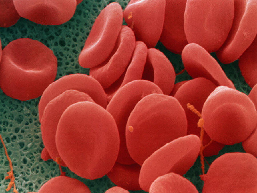 Red Blood Cells Photograph  - Red Blood Cells Fine Art Print