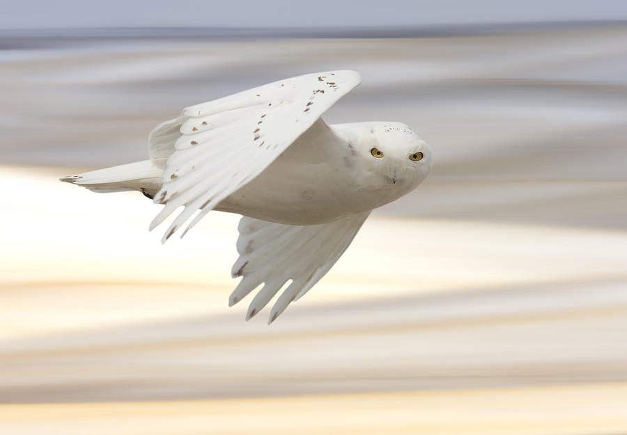 Snowy Owl In Flight Photograph  - Snowy Owl In Flight Fine Art Print