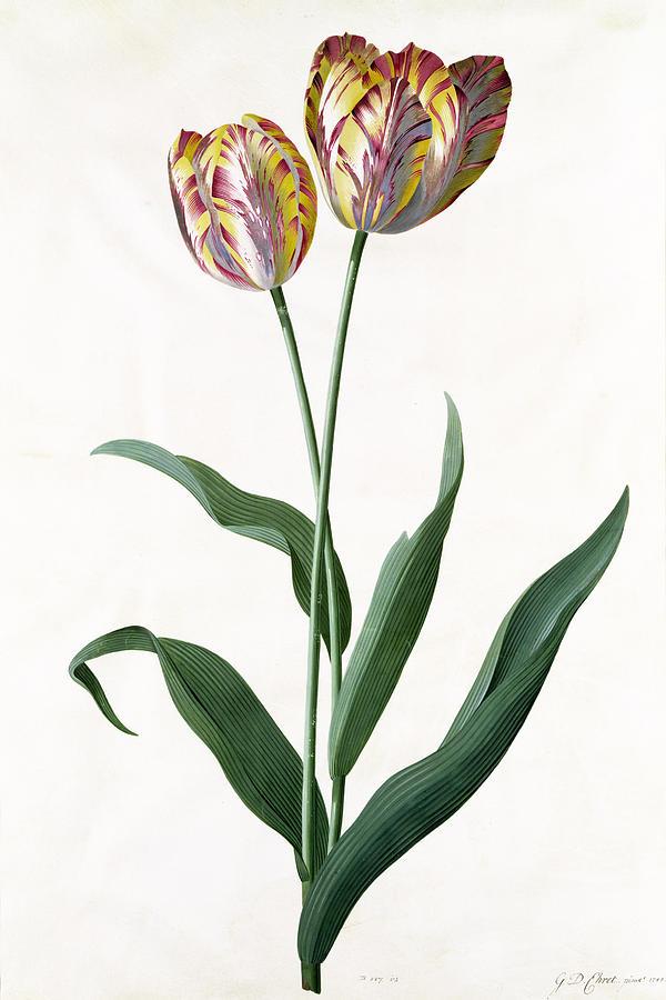 Flower; Flowers; Botanical Painting - 5 Tulip Tulip  by Georg Dionysius Ehret