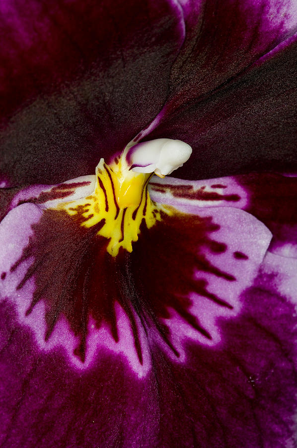 Exotic Orchids Of C Ribet Photograph