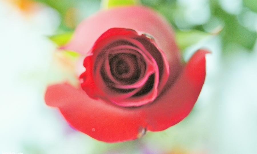 Rose For You Photograph