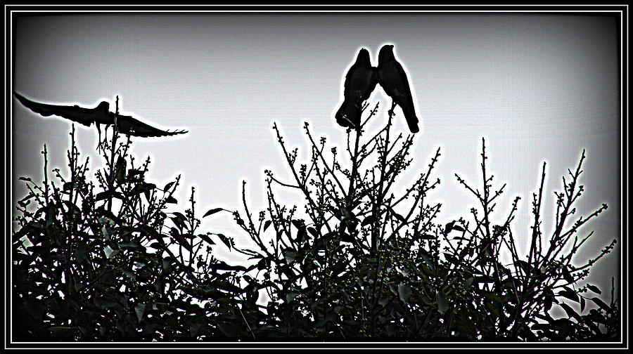 Crows Crows And Crows Photograph  - Crows Crows And Crows Fine Art Print