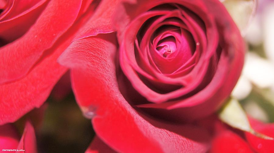 Rose For You Photograph  - Rose For You Fine Art Print