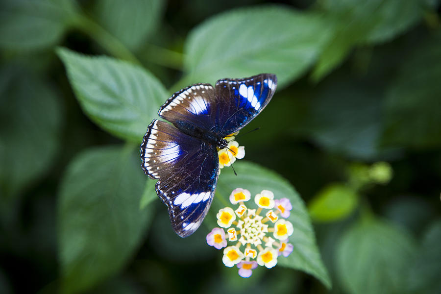 Lantana Camara Verbenaceae Photograph - A Butterfly Rests On A Leaf by Taylor S. Kennedy