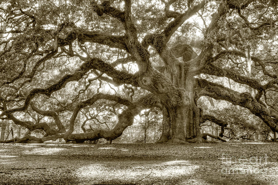 Angel Oak Live Oak Tree Photograph  - Angel Oak Live Oak Tree Fine Art Print