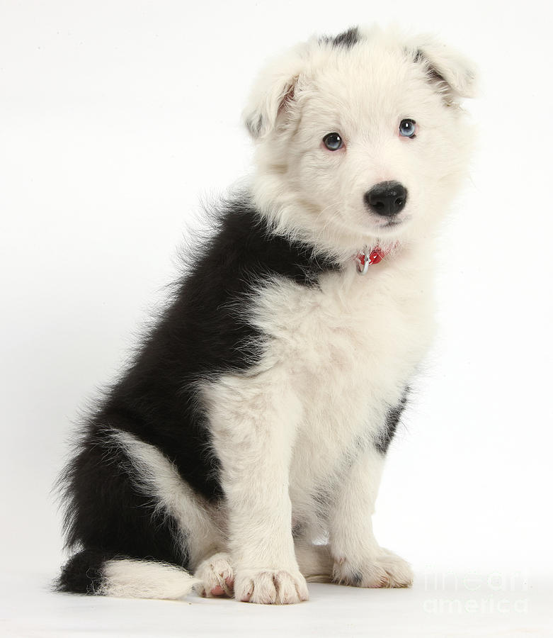 Border Collie Puppy Photograph  - Border Collie Puppy Fine Art Print