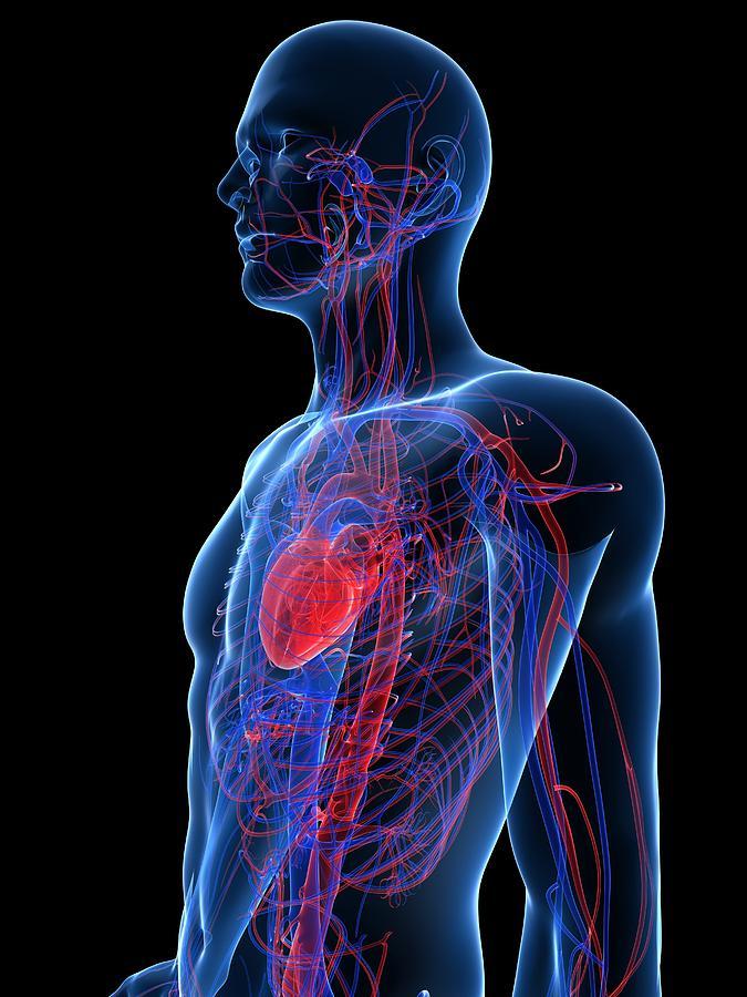 Cardiovascular System, Artwork Photograph