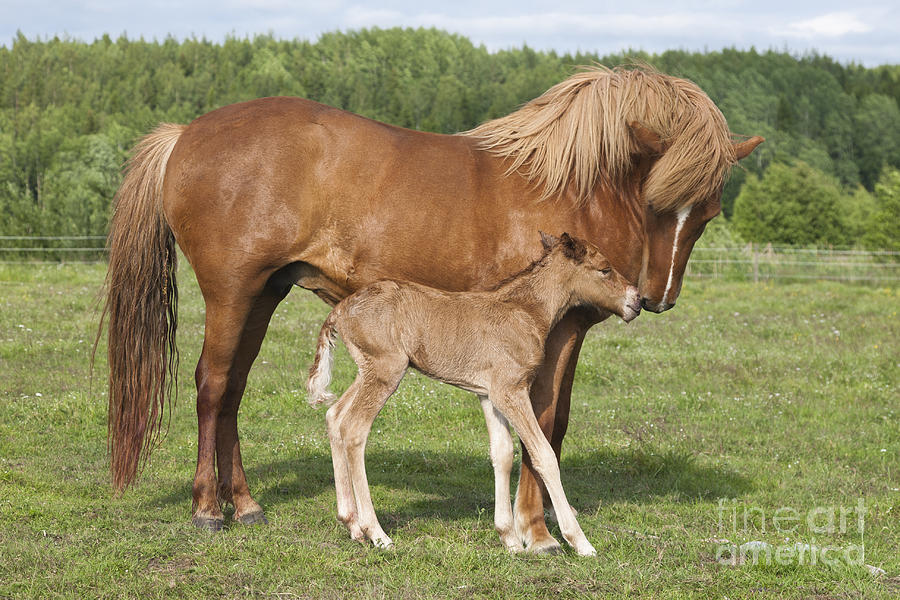 Chestnut Icelandic Horse With Newborn Foal Photograph By