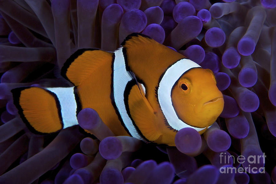 False Ocellaris Clownfish In Its Host Photograph  - False Ocellaris Clownfish In Its Host Fine Art Print