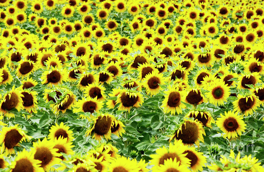 Field Of Sunflowers Photograph