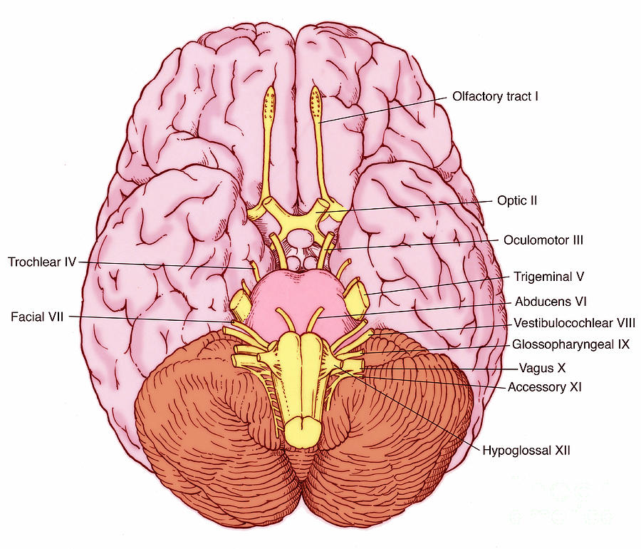 Cranial Nerves Diagram Cranial Nerves