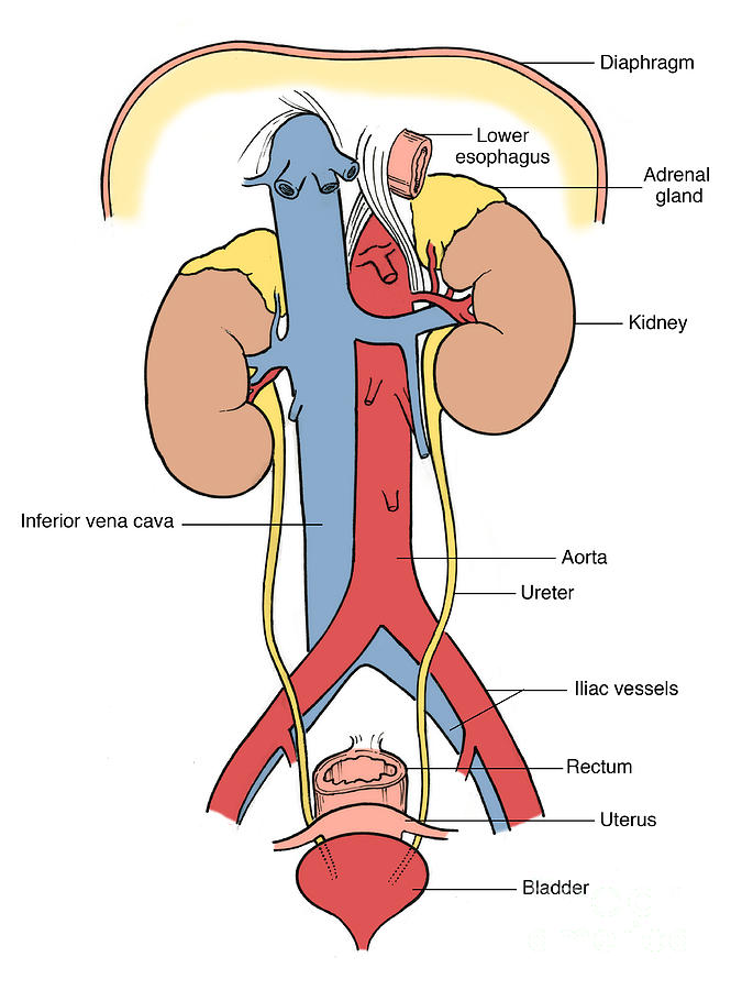Illustration Of Female Urinary System Photograph