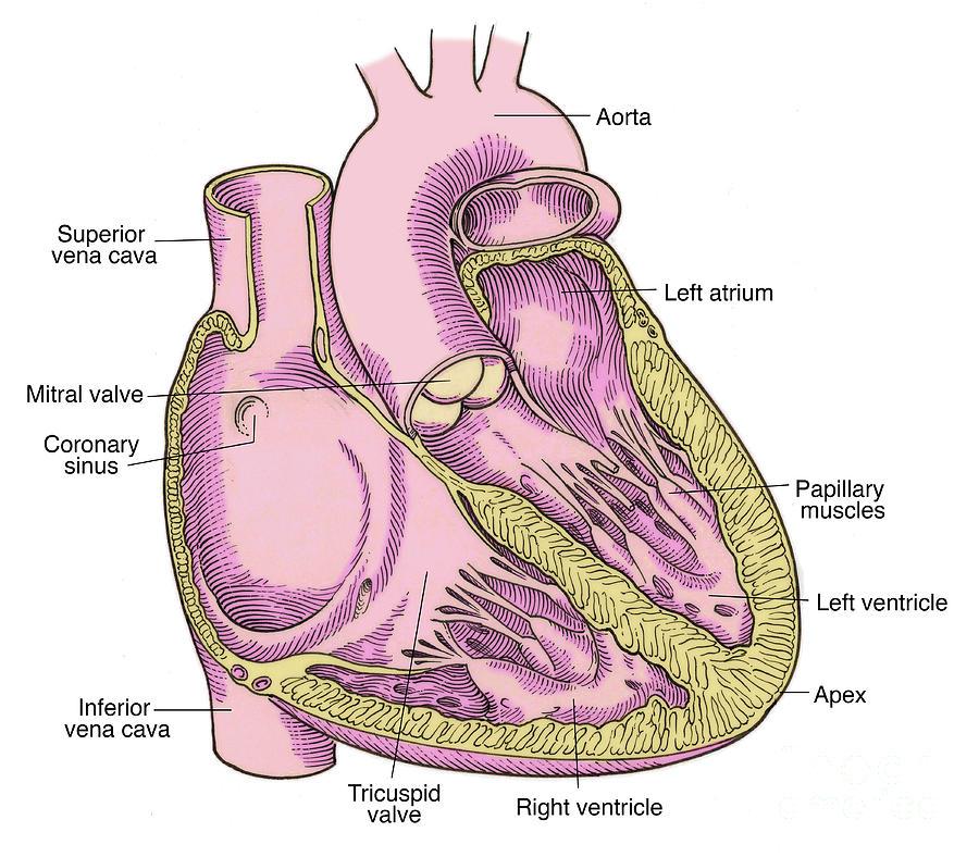 Illustration Of Heart Anatomy Photograph