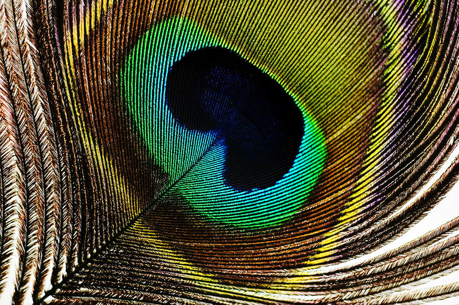 Peacock Feathers Photograph  - Peacock Feathers Fine Art Print