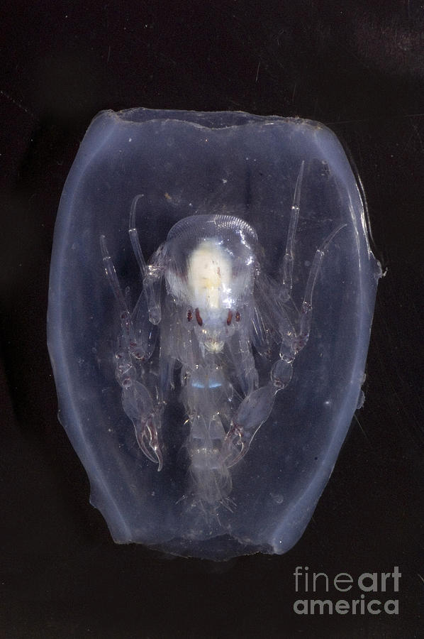 Phronima Photograph