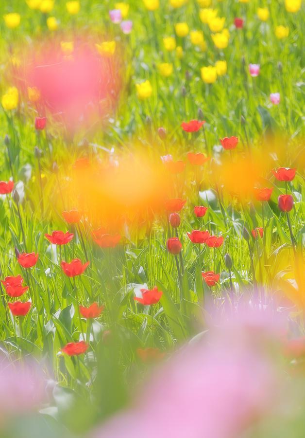 Flower Photograph - Tulips by Silke Magino