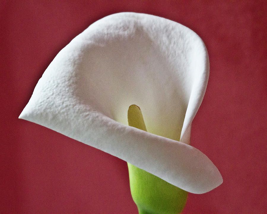 White Calla Photograph