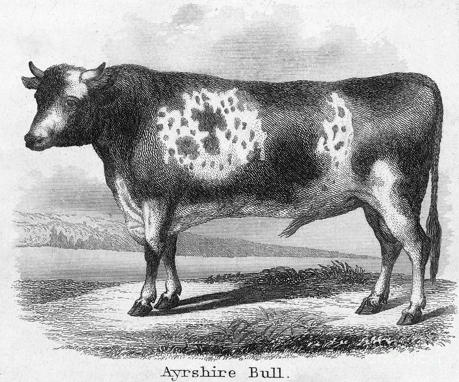 Cattle, 19th Century Photograph