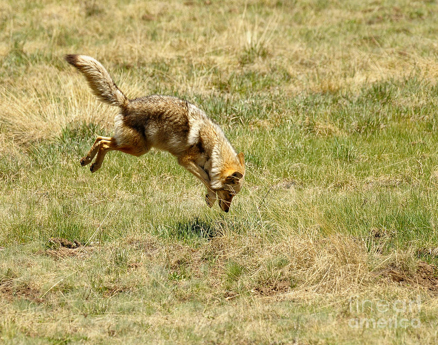 coyote hunting essay What to do if you see a coyote recent coyote sightings on aquidneck island or jamestown  they may simply be taking a shortcut to their favorite hunting ground.