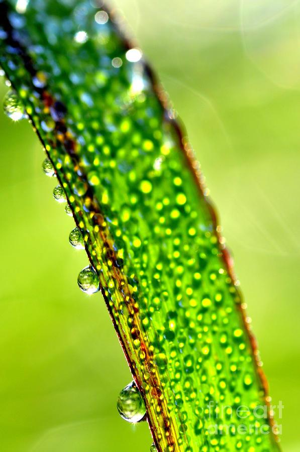 Dewdrops On Lemongrass Photograph