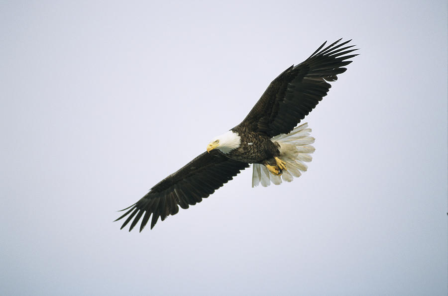 Flying Bald Eagle Drawings
