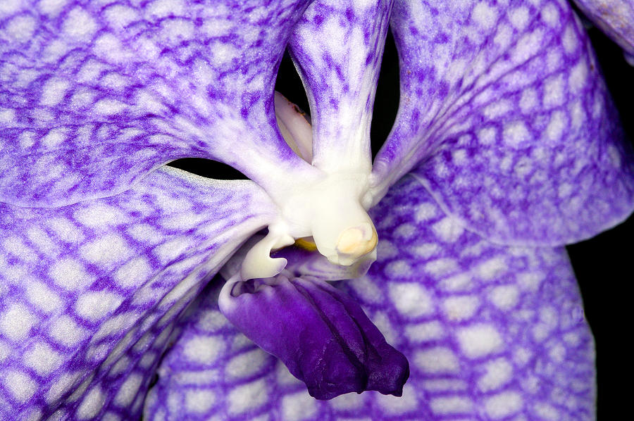 Exotic Orchid Flowers Of C Ribet Photograph  - Exotic Orchid Flowers Of C Ribet Fine Art Print