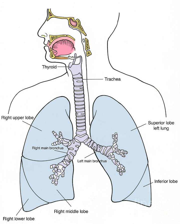 Respiratory System Clip Art - Bing images