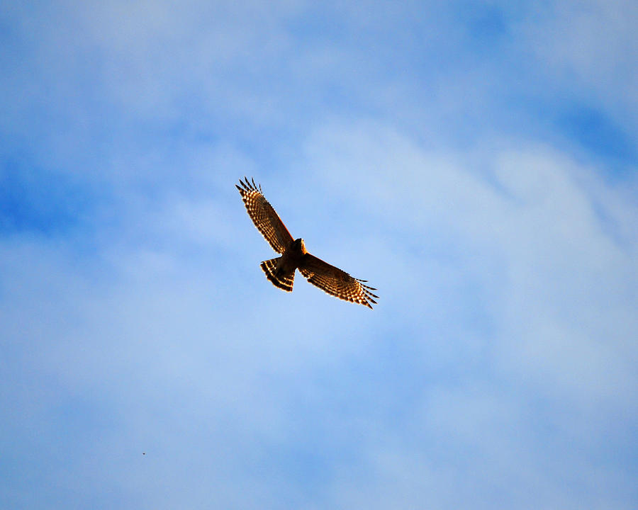 Red Shouldered Hawk In Flight Photograph by Jai Johnson