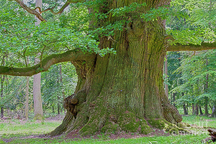 800 Years Old Oak Tree  Photograph