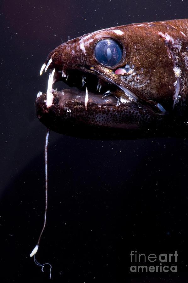 Stomias Photograph - Dragonfish by Dante Fenolio